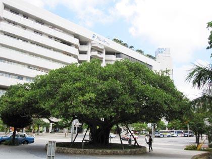 大きながじゅまるの木