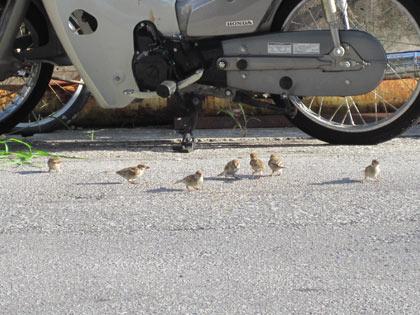 エサを食べる雀