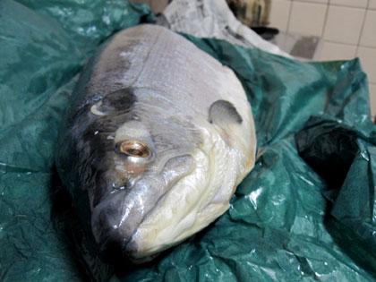 塩漬けにされた大きな鮭