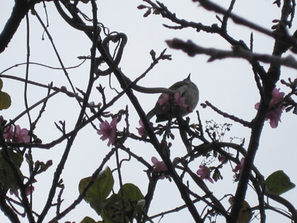 桜に寄って来た小鳥